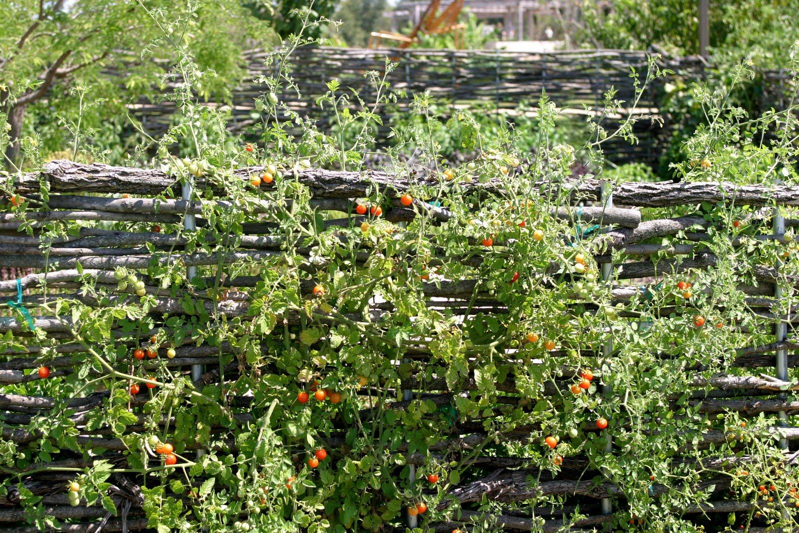 Tomato Mexican Midget 106