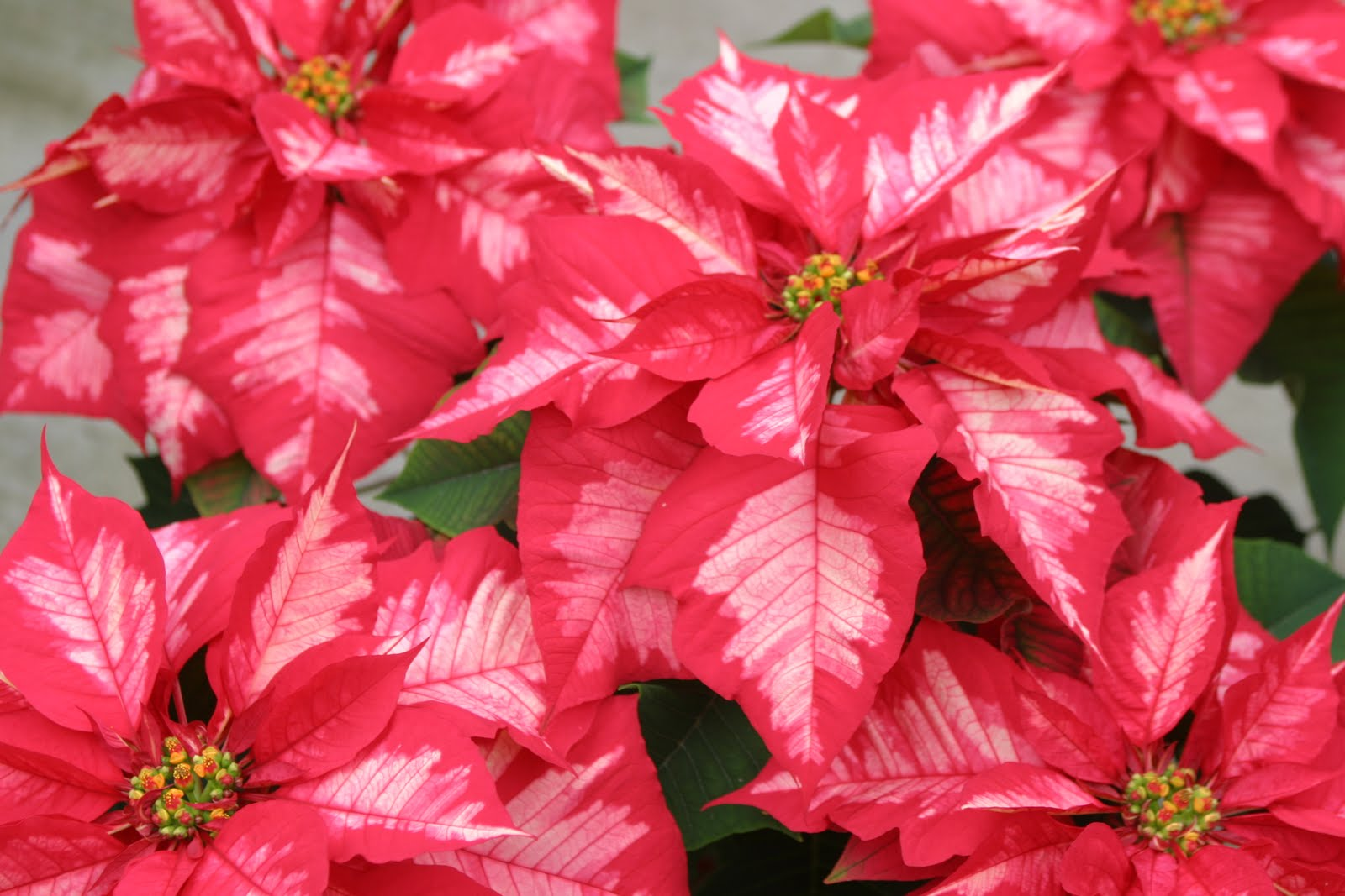 Lastly, Poinsettia 'Ice Punch' still receives the most comments of th...