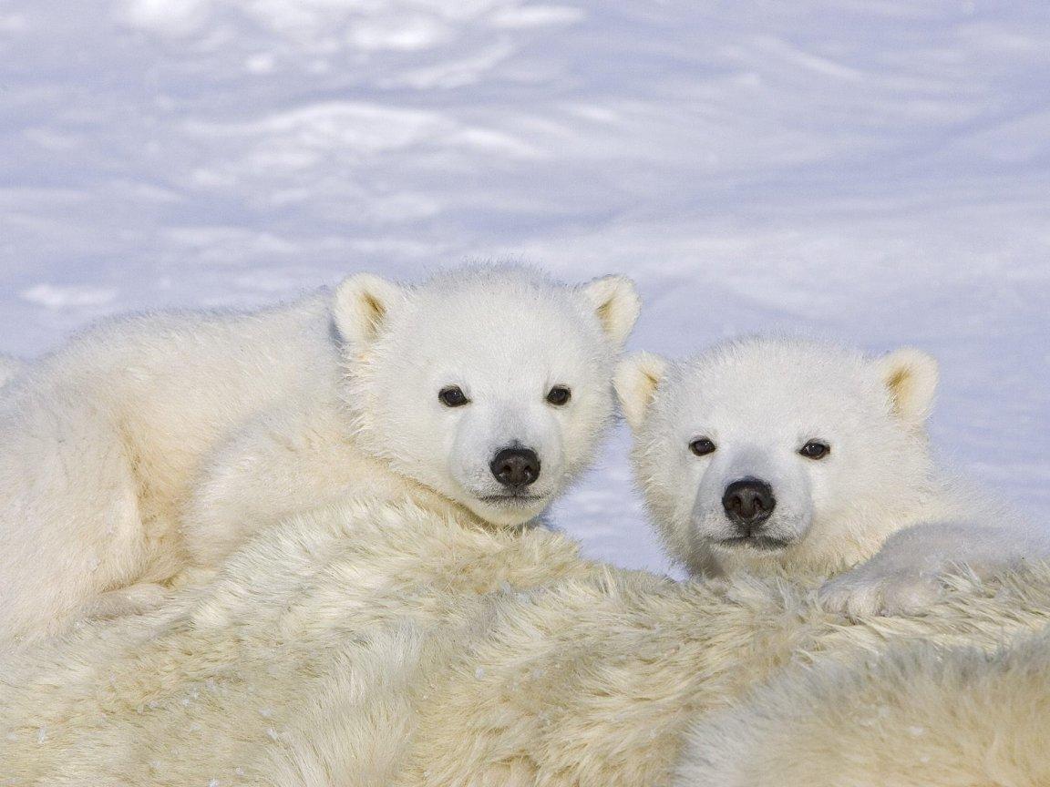 http://2.bp.blogspot.com/_O-sIn2Jn65M/TTyFKL-wM4I/AAAAAAAAAWE/Se_K9dPhhrM/s1600/Polar-bear-cubs-wallpaper_1152x864.jpg