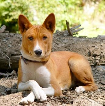 breed is BASENJI