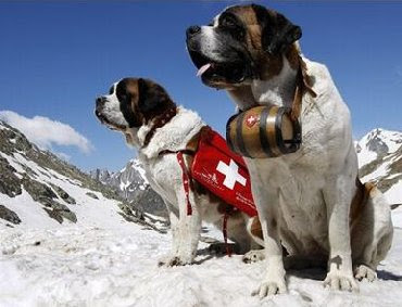 St Bernard rescue dog