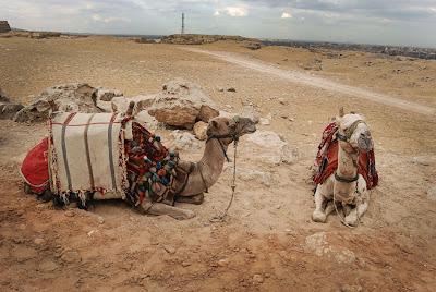 kameler i egypt