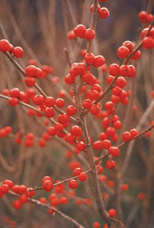 winterberry from Oikos Tree Crops