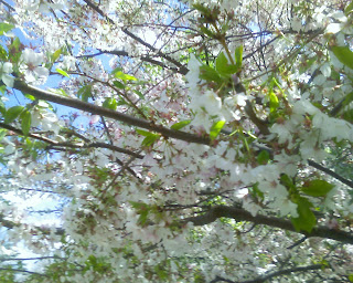neighborhood cherry blossoms close up