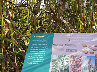 sorghum plant and sign