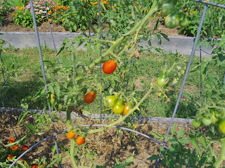 grape tomatoes seriously leaning