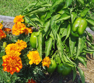 green peppers and marigolds