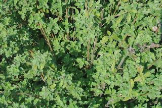 thyme bush