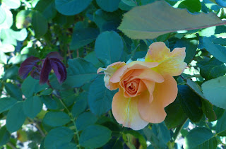 drooping orange rose