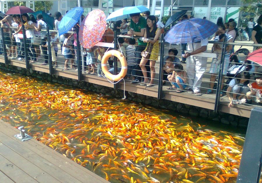 Nuvali philippines koi carp fish feeding frenzy for Koi fish family