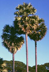 greeny crops: Palmyra fruit (aka. Nungu)