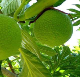 http://2.bp.blogspot.com/_O5yqxEV-CkA/SdJvKs7nkKI/AAAAAAAAAEE/ORNh_BJfojM/s320/breadfruit.jpg