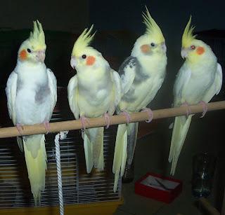 Burung Parkit Australi: HARGA PARKIT AUSTRALI JINAK