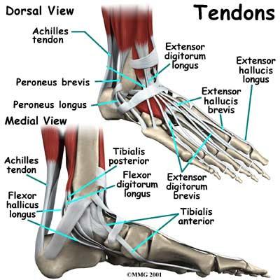 Tendons Foot on Dance Foot Diagrams