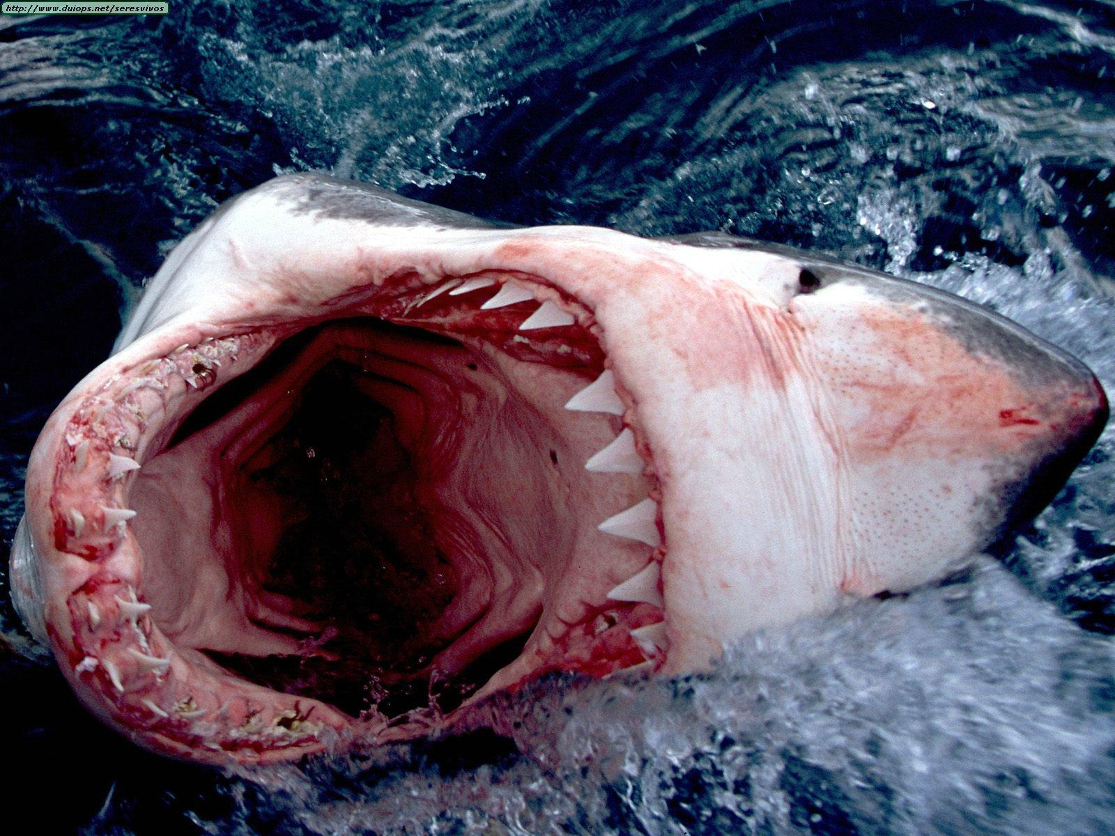 Angelina Jolie Fans February 2011 Kaos Fish Ikan Hiu Shark Serangan Terjadi Kamis 17 2 Pekan Lalu Di Dekat Permukaan Perairan Yang Terletak 15 Mil Sebelah Barat Coffin Bay National Park Putih Memang