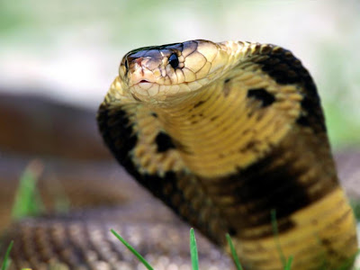snake wallpapers. cobra snake wallpapers