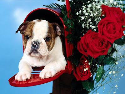 bulldog wallpaper. Placing a cute ulldog in