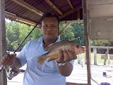 ikan merah kongkong