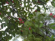 Macopa Fruit