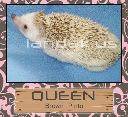 landak pinto &quot;QUEEN&quot;