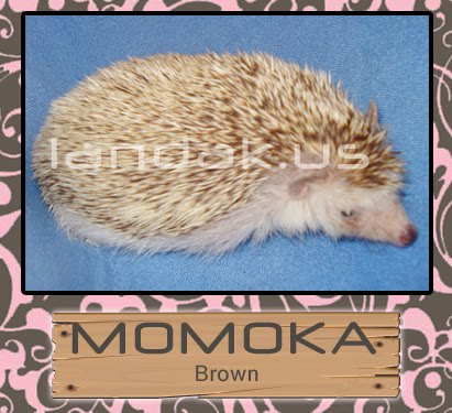 landak brown &quot;MOMOKA&quot;