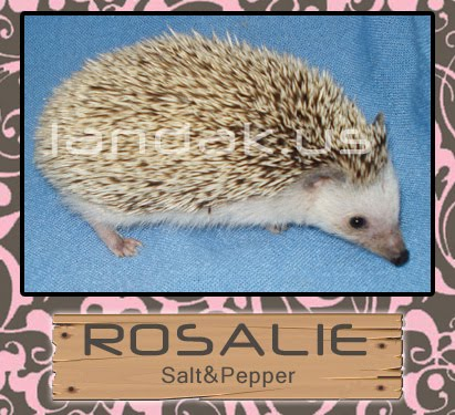 landak salt and pepper &quot;Rosalie&quot;