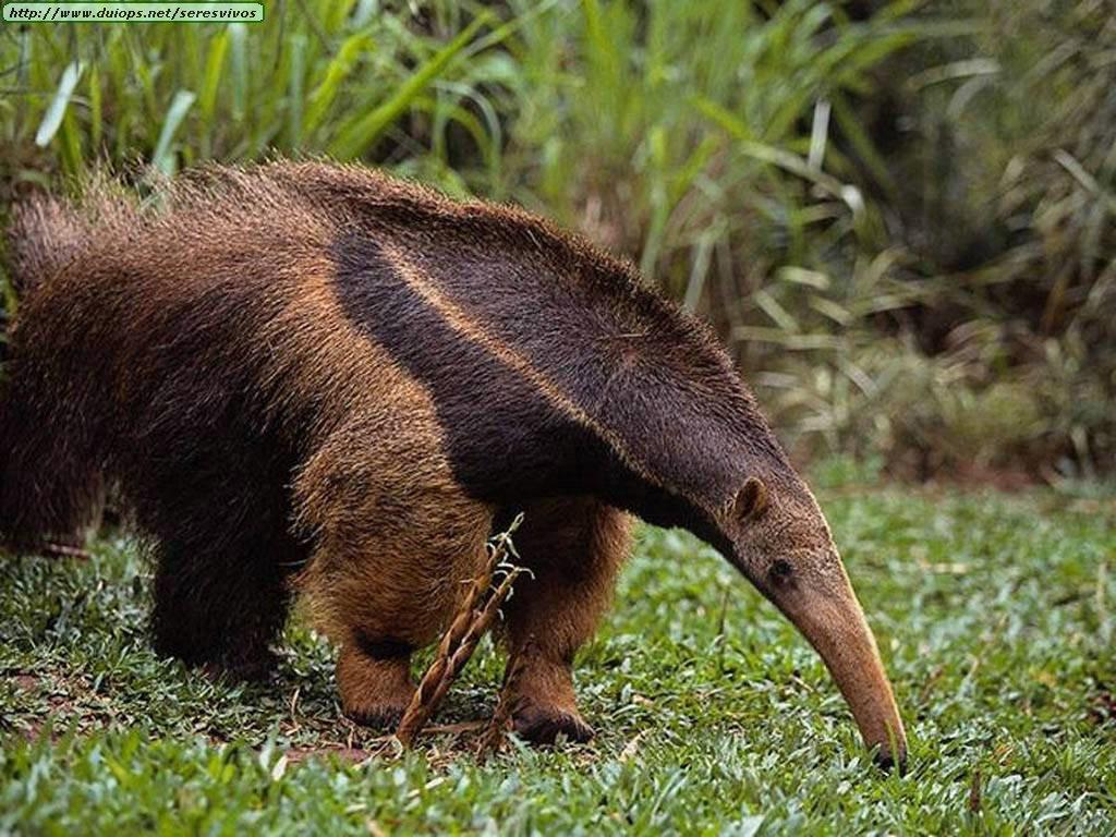 Curiosidades y fotos de animales: Oso hormiguero