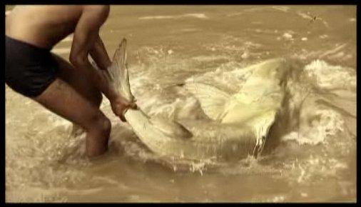 Video penangkapan ikan lele raksasa
