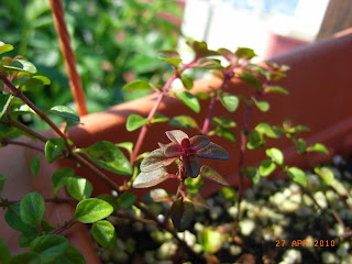 how to grow thyme from cuttings