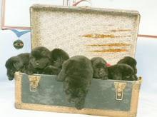 Newfie Pups