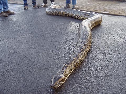 Python, Python Snakes, Ball Python, Big Python, Python for Sale