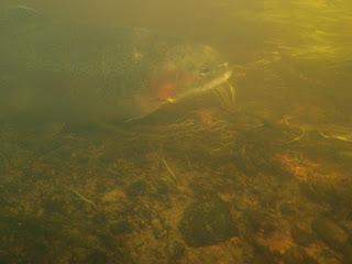 Flugfiske Baltak 26 06 09