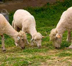 Comunicados a la Nacion. 1-oveja