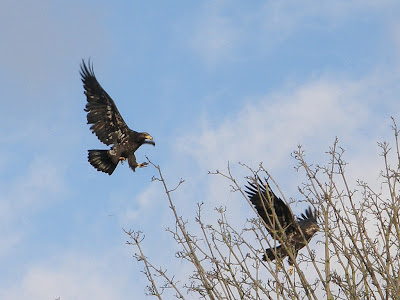 immature golden eagle pictures. the immature golden has