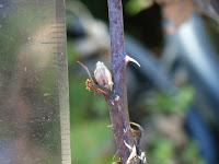ブラックベリー・エバーグリーンの冬芽