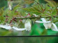 モミジイチゴ花横顔