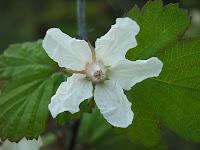 ニガイチゴ花