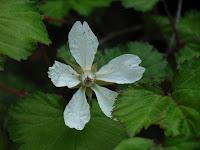 ヒメカジイチゴ実生の花
