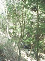ニワトコの大木