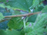 ナワシロイチゴ冬芽