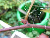 カジモミジ大型の冬芽1