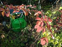 紅葉したエビガライチゴ
