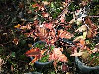 ニガイチゴ紅葉