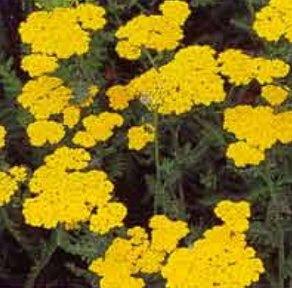 Kırışıklara Ne İyi Gelir-Kırışıklıklara Bitkisel Çözüm Civanperçemi Kürü