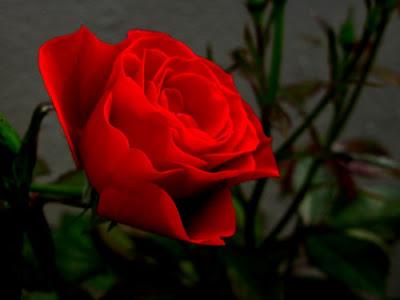 Imagenes De Bellas Rosas Rojas}