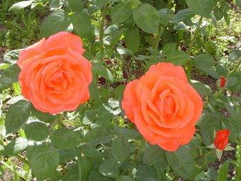 As rosas da Paula C.