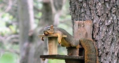 Фото уставшой белки. Белка на отдыхе