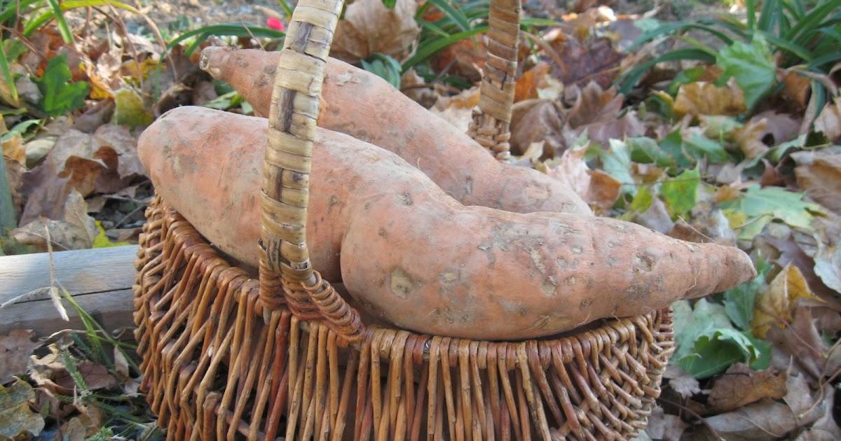 Home Joys Storing Sweet Potatoes