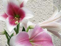 日の丸美花(トライアンフェータ)