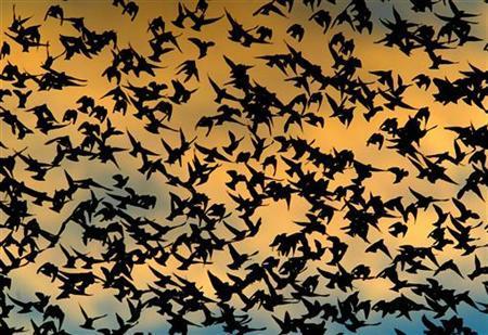 Burung Gagak Ganggu Penerbangan